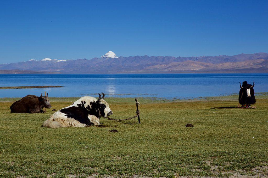 1200px-Yaks-Kailash-Manasarovar