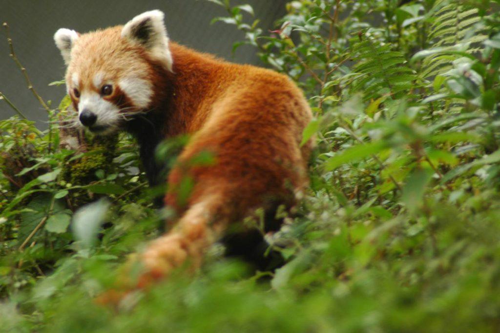 Red_panda_sikkim