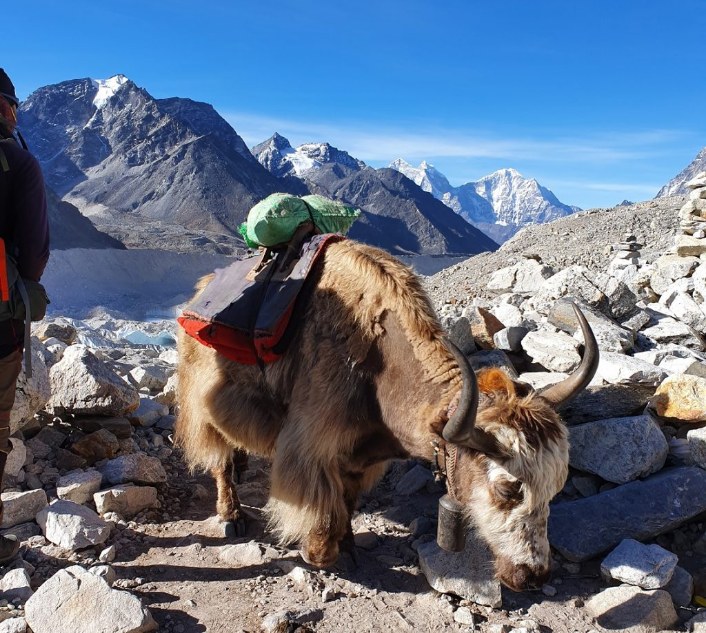 Yak on Everest