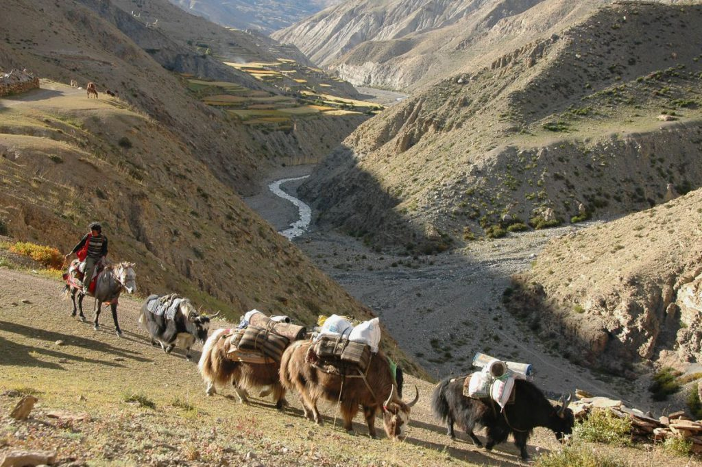 Yak_caravan_leaving_saldang