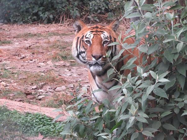 Tiger bardia